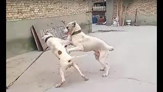Pitbull attacks a Bully Kutta!!!