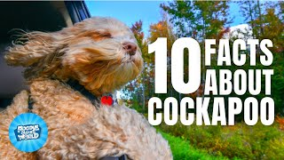 10 Facts About the Cockapoo | Poodle Mixes World