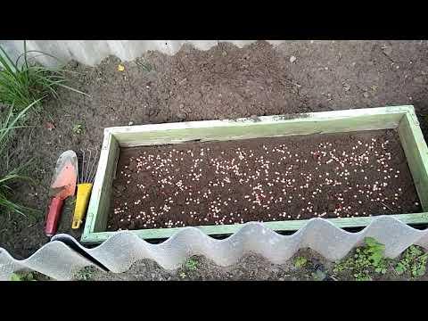 Размножение войлочной вишни.8 из 10 косточек взойдут