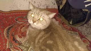 Взорвал интернет! Толстый кот злодей - Самый злой кот в мире. Говорит пошёл на мама МАаа МА... .