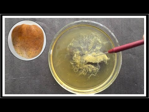 Isolation of DNA from Papaya ( हिंदी में )