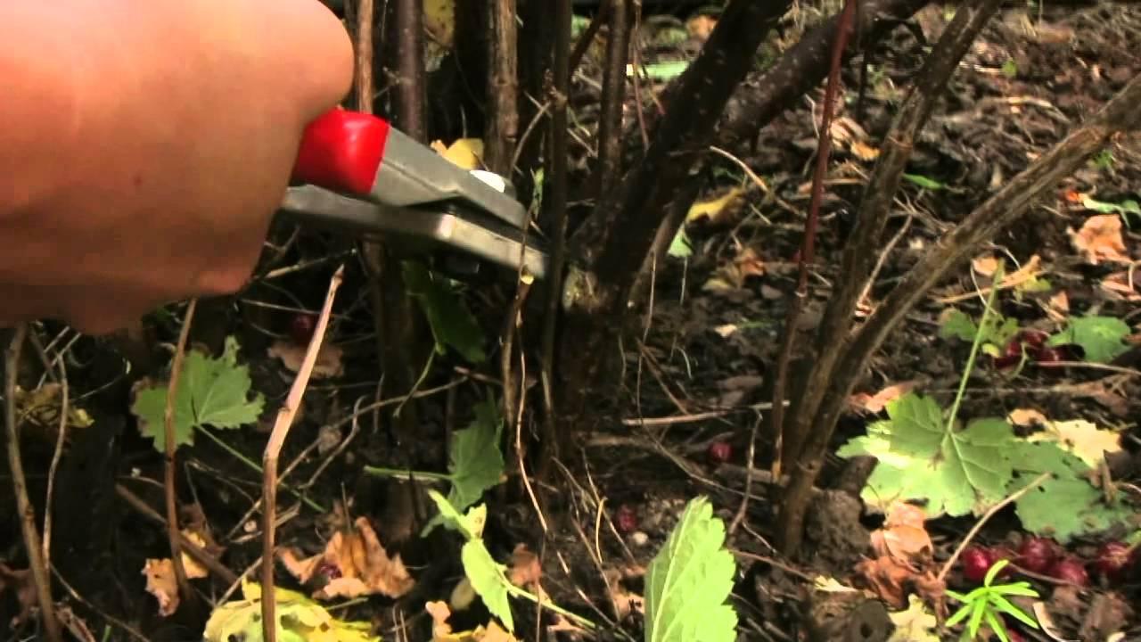 Wann Schneidet Man Apfelbäume : rote ribiseln schneiden youtube ~ Lizthompson.info Haus und Dekorationen