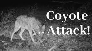 Coyote Attacks Bear in My Yard!