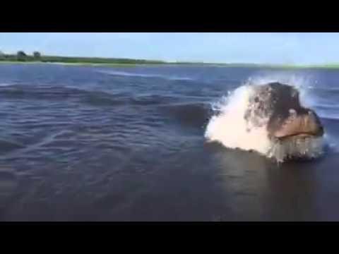 nilpferd verfolgt boot