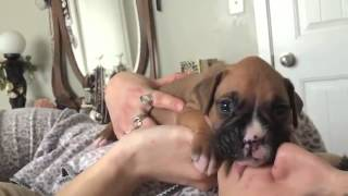 3 Week Old Boxer Puppy Howling