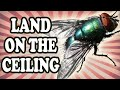 How Flies Land on the Ceiling