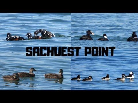 Sea Ducks ~ Sachuest Point National Wildlife Refuge ~ Middletown Rhode Island