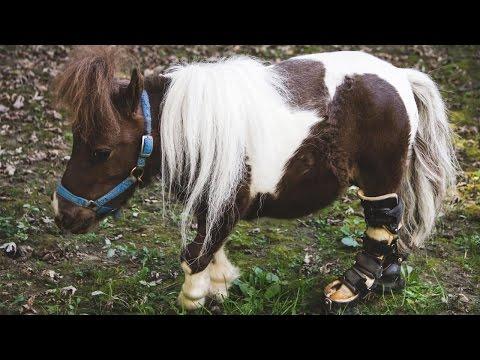 Adorable Dwarf Horse