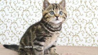 Котик окрас черный мраморный