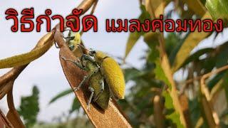 วิธีกำจัดแมลงค่อมทองในต้นทุเรียน