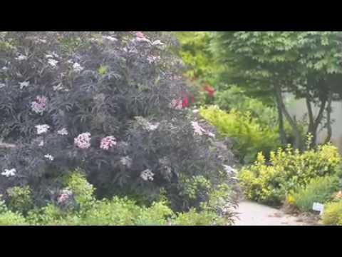 Black Lace Elderberry Sambucus
