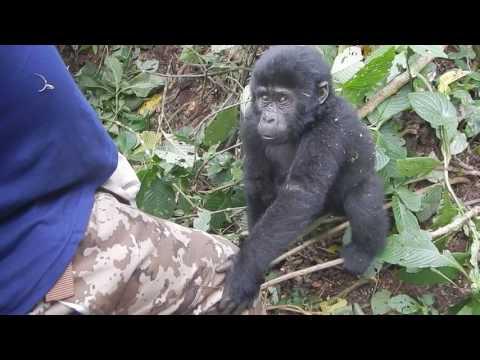 Mountain Gorillas with self drive car rental safaris in Uganda