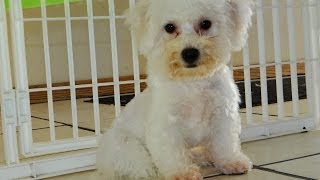 Bichon Frise, Puppies, For, Sale, In, Phoenix, Arizona, Az, Prescott Valley, Bullhead City, Prescott