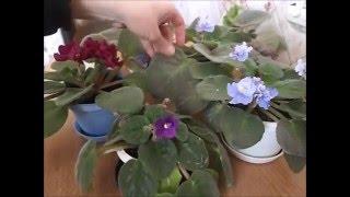 видео Комнатные фиалки (Сенполия), цветок узамбарская фиалка. Уход за фиалками: выращивание, болезни листьев, сорта.