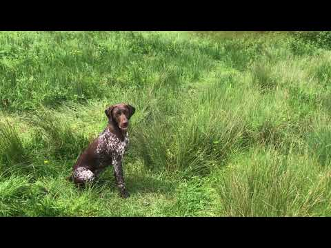 Water retrieve with a young german shorthaired pointer