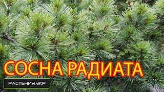 сосна веймутова  радиата / Сосна посадка и уход / хвойные растения