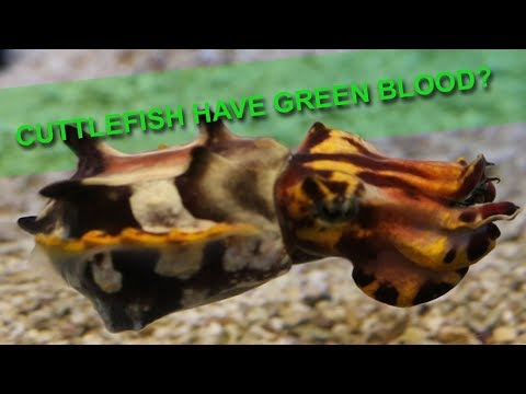 CUTTLEFISH HAVE GREEN BLOOD!!