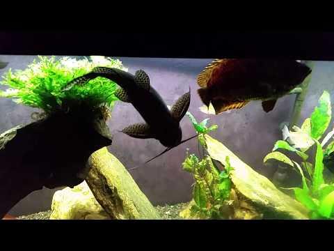 Synodontis Eupterus Aka African Featherfin Squeaker Catfish