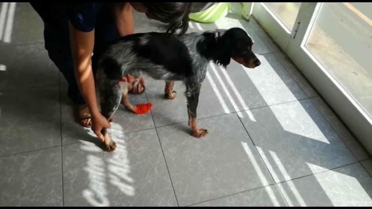 Nervio lesion ciatico en perros del