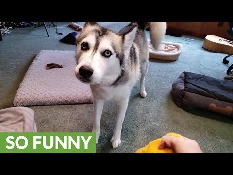 Husky throws tantrum after dachshund steals favorite toy