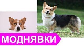 Вельш Корги Кардиган
