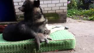 Подвинься, собака! Котёнок и маламут