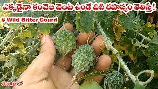 ఎక్కడైనా కంచేల వెంట ఉండే వీటి గురించి తెలిస్తే ! || Medicinal uses of #wild_bitter_gourd_plant