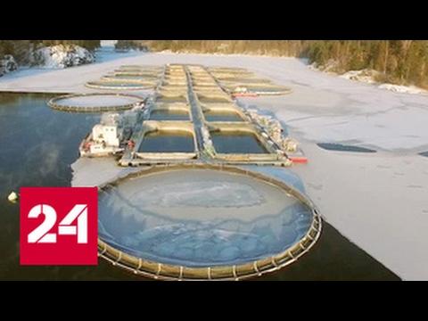 Рыбный бизнес. Специальный репортаж Георгия Подгорного
