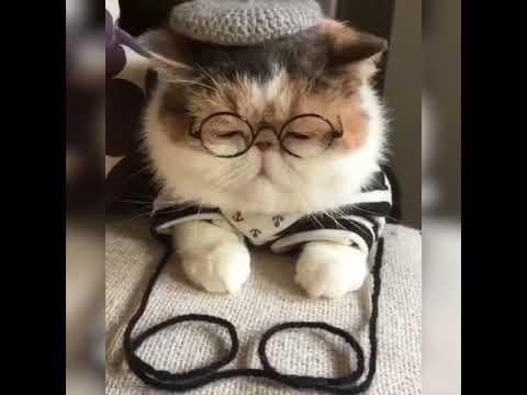 Cute Exotic Shorthair Cat Youtube