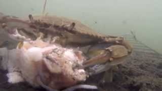 Catching Blue Crabs With The Gopro