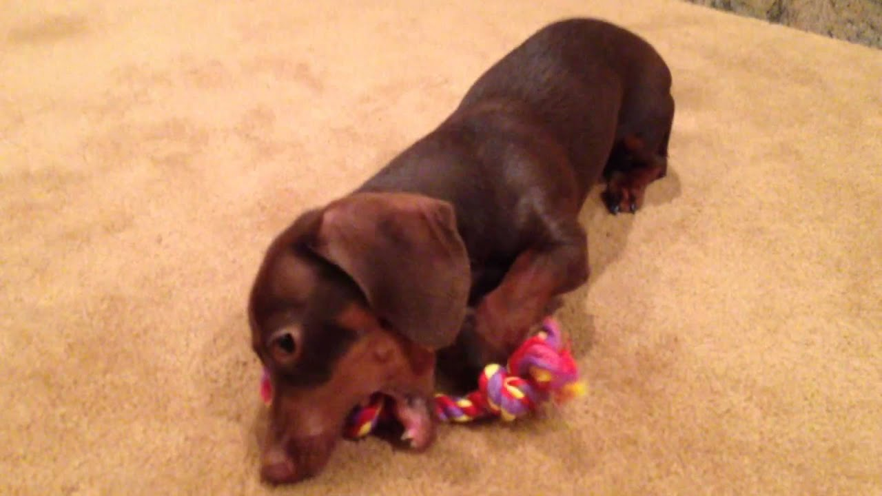 7 Month Old Mini Dachshund Gets A New Toy