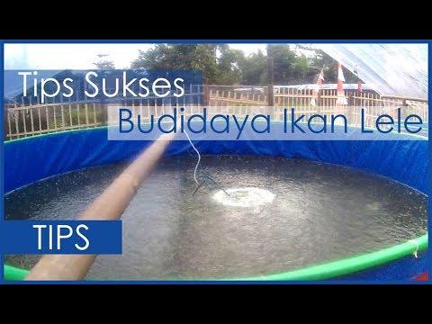 Tips Sukses Budidaya Ikan Lele Bioflok