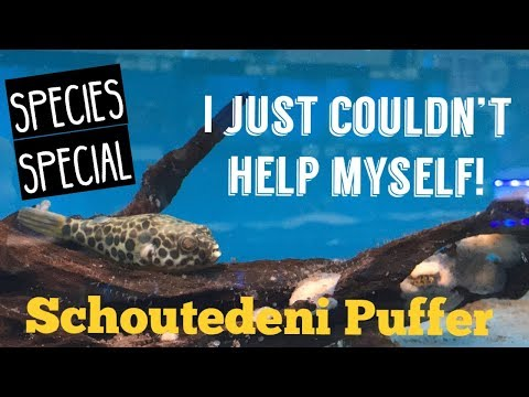 Schoutedeni Puffer Care 2018 (Spotted Congo Puffer) | Species Special