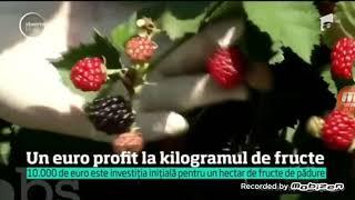 Plin sezon de cules zmeură si mure Antena1