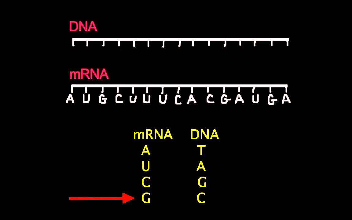 topic 2 7 dna replication transcription and translation amazing world of science with mr green [ 1152 x 720 Pixel ]
