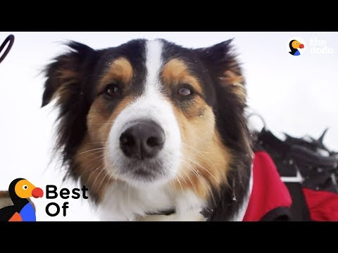 Rocket Dog Rescues People Buried In Avalanches + Dogs With Important Jobs | The Dodo Top 5