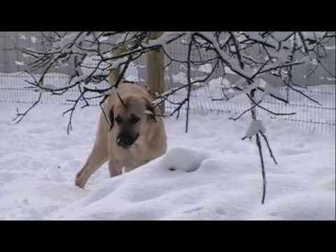 Anatolian Shepherd Dogs in California