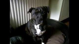 Funny Staffordshire Bull Terrier Talking