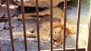 ХИЩНЫЕ ЖИВОТНЫЕ Змеи Львы Тигр Волки Пума Медведи Predatory Animals Children's Videos