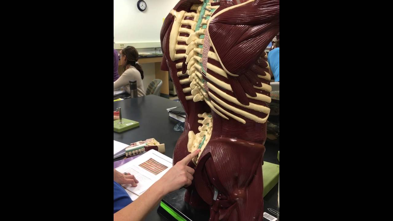 Nerves on Human Torso Model: TCC Lab 18Apr - YouTube