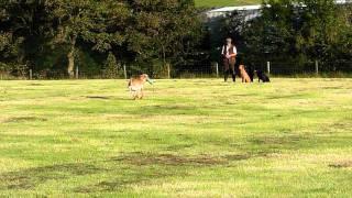 Ashdale Dog Training, Ayrshire - Gun Dog Retrieve Work Video 2  - Billy Plenderleith
