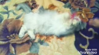 Моя перситская кошка сходить с ума 1