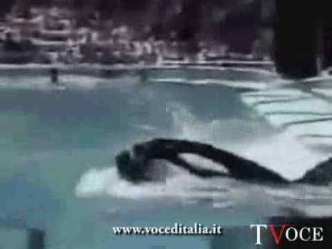 Orca Assassina Il Momento Di Un Attacco A Sea World Youtube