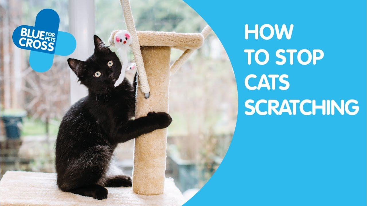 How To Stop Cats Scratching And Clawing Inside Blue Cross