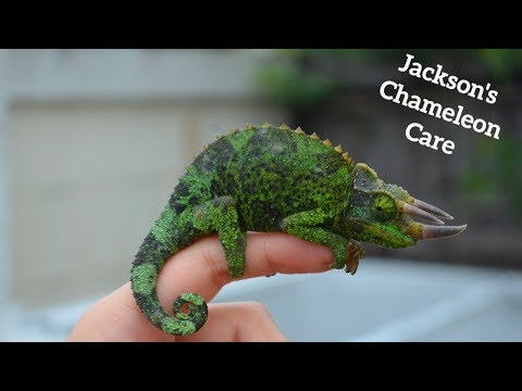 REAL LIFE TRICERATOPS ?! Jackson's Chameleon Care!