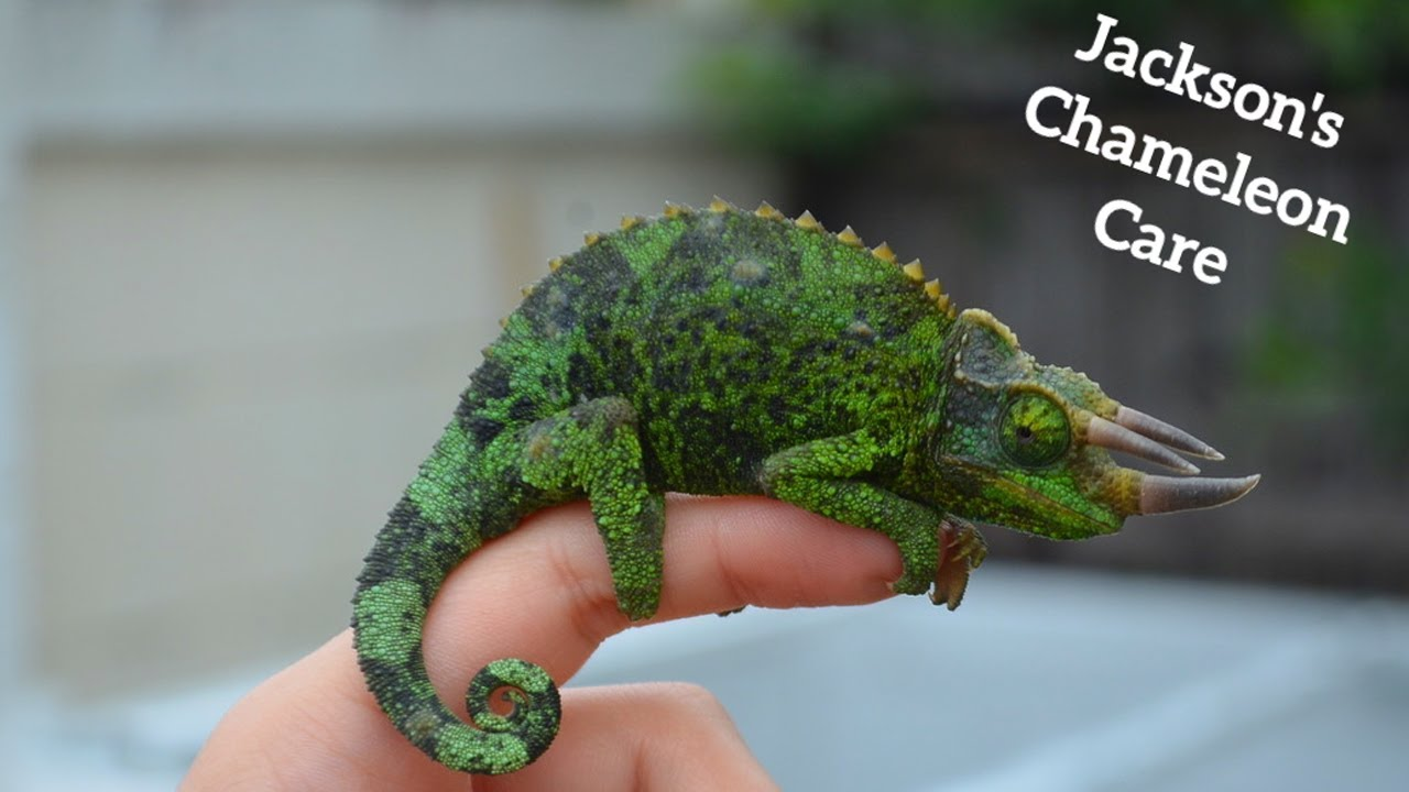 Real Life Triceratops Jackson S Chameleon Care Youtube