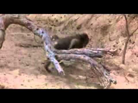 Пьяное дерево в африке.flv