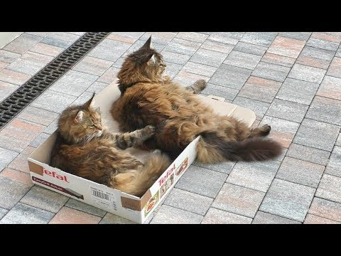 CATS BATTLE FOR THE BOX