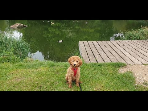 Bella - 16 Week Old Labradoodle Puppy - 3 Week Intensive Dog Training Course