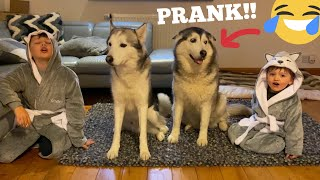 Huskies Hilarious Reaction To My Kids Becoming Huskies! [CUTEST REACTION EVER!!]